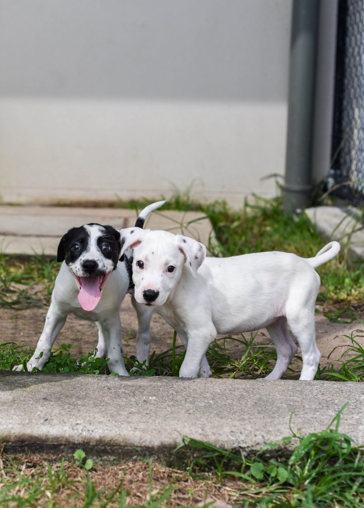 Two mixed breed black and white puppies standing next to each other on grass and cement.