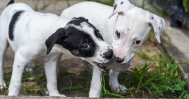 Two mixed breed black and white puppies playing with a ball.