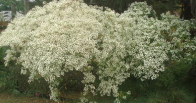 A snowflake bush in full bloom with a mass of white flowers.